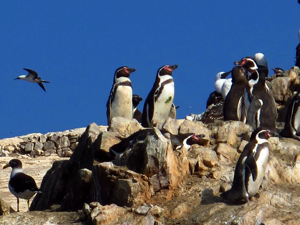 Pinguinos en Islas Balletas